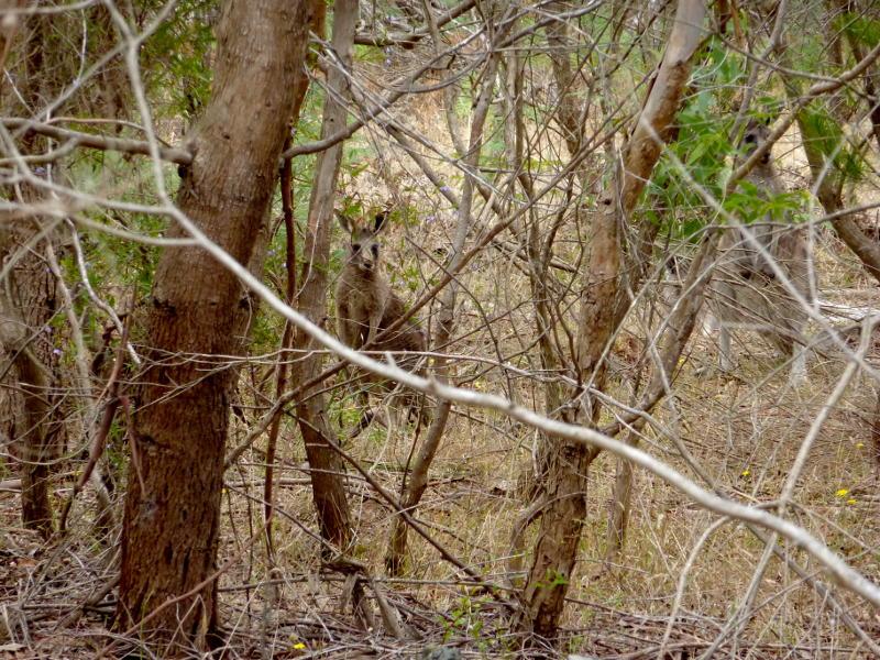 Känguru auf der Mornington Peninsula/Victoria